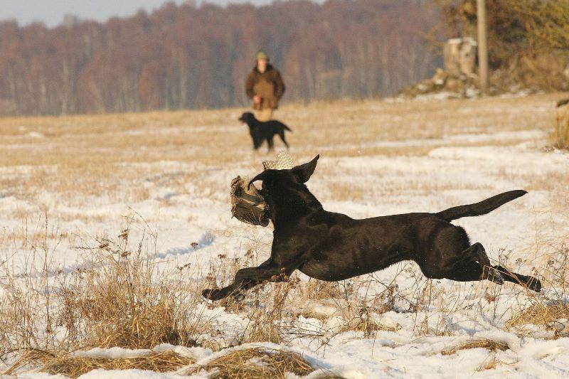 småvilt, jakt, retriever